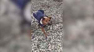Three-legged pitbull gets a new wheelchair [Video]