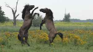 Majestic battle for dominance between wild Konik horses [Video]