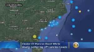 Cluster Of Massive Great White Sharks Off Carolina Coast Remains A Mystery [Video]