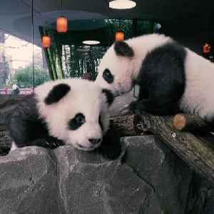 Twin baby pandas take first public steps in Berlin Zoo [Video]