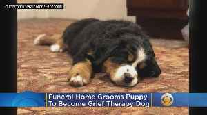 'Say Hello To Mochi': Funeral Home Grooms Puppy To Become A Grief Therapy Dog [Video]