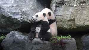 Baby panda twins take first steps [Video]