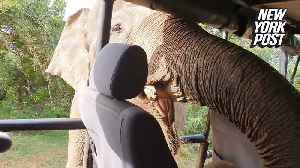 Hungry elephant searches for snack inside safari truck  [Video]