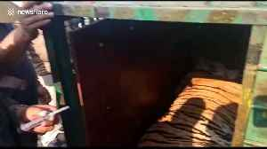 Moment 'man-eater' tiger released into the jungle with a chilling roar [Video]
