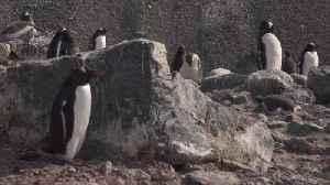 Greenpeace assess the impact of climate change on Penguins [Video]