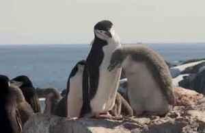 Antarctic penguin count reveals dramatic decline [Video]
