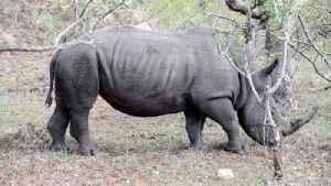 Scientist Says Rhinos Face New Threat: Antibiotic-Resistant Bacteria [Video]