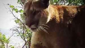 A California Mountain Lion Was Allowed To Be Killed Under State Depredation Law [Video]