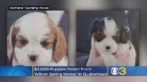 Two Puppies Worth Thousands Of Dollars Stolen From Bucks County Kennel [Video]