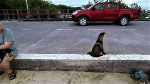 Baby sea lion flawlessly stops and looks both ways before crossing the street [Video]