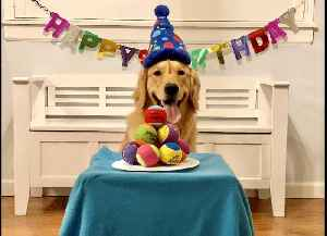 Golden Retriever overjoyed at birthday cake made of tennis balls [Video]