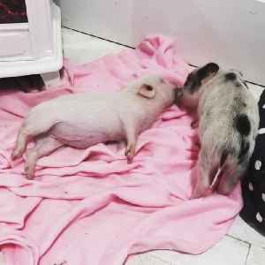 Pig Licks and Cleans Peanut Butter Off Another Pig's Mouth While She Sleeps [Video]