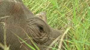 Rhinos in Kenya face new threat from antibiotic resistance [Video]