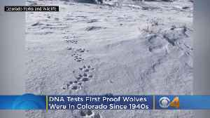 DNA Tests Show Wolves Were In Colorado, First Confirmation Of The Animals In Colorado Since 1940s [Video]