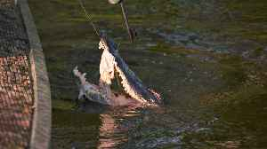Swamp People: CAJUN GATOR HUNT Fills Brock's Boat [Video]