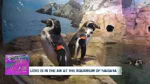 Romance among the penguins at the Aquarium of Niagara [Video]