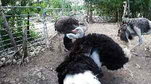 Giant ostrich performs funky dance to attract female at rehab sanctuary [Video]