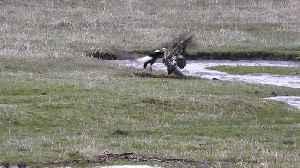 Elusive Duck Evades Multiple Eagles [Video]