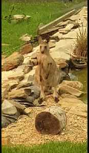 Kangaroos drink from swimming pool after surviving Australian bushfires [Video]