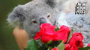 Koala spends her first Valentine's Day showered with love  [Video]