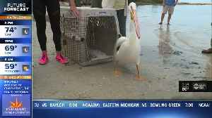 Pelicans reunited with colony in Fort DeSoto [Video]