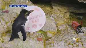 Delicious Valentine's Day Treats For The Critters At The Shedd Aquarium [Video]