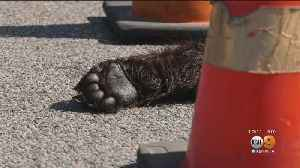 Severed Bear Paw Found Near Santa Clarita Car Dealership [Video]