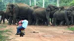 Sri Lankan elephants' struggle to survive [Video]