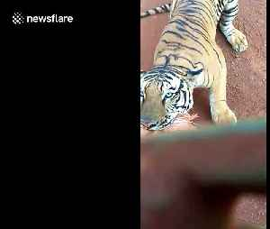 Determined tiger chases after safari bus packed with tourists in central India [Video]