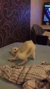 Goofball cat falls right off the bed during playtime [Video]