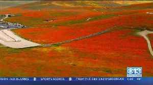 Dry Winter May Mean No 'Super Bloom' [Video]