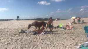 Horses Casually Stroll through Crowds of People on Beach [Video]