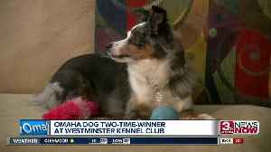 Omaha dog a two-time winner at Westminster Kennel Club [Video]