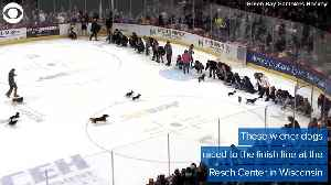 WEB EXTRA: Wiener Dog Race At Hockey Game [Video]