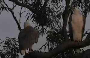 Eagle sweethearts 'serenade' each other in Australian reserve [Video]