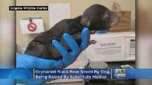 Bear 'Foster Mom' Raises Cub Saved By Dog [Video]