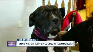 Why is Western New York so good at rescuing dogs? [Video]