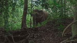 Wild Pygmy Elephant in Borneo, Sabah, Malaysia [Video]