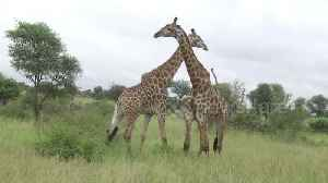 Witness the rarely seen and brutal way these two male giraffes fight [Video]