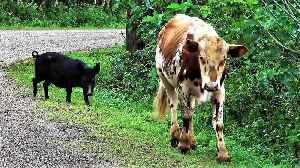 Cow and his wild pig friend casually stroll down the road in Tonga [Video]