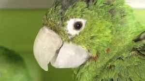 Vet Produces Custom-Made Prosthetics Giving Beakless Birds a Second Chance [Video]