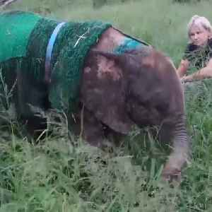 This baby albino elephant was rescued from poachers [Video]