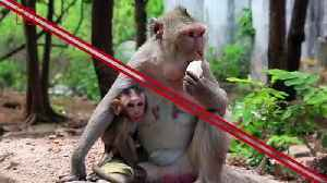 No Monkeying Around: Why Trump Will Need Protection from Wild Monkeys in India [Video]