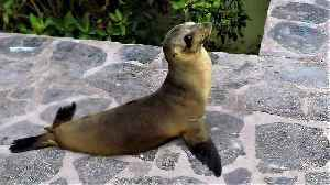 Very funky baby sea lion waddles adorably to the ocean [Video]