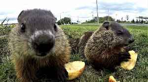 Adorable groundhog babies share apple slices in the sunshine [Video]