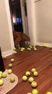 Dog Surprised By Seeing Many Tennis Balls [Video]