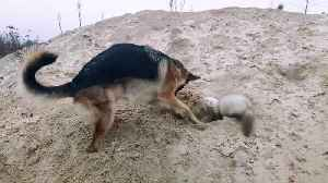Ferret and German shepherd have become best friends [Video]
