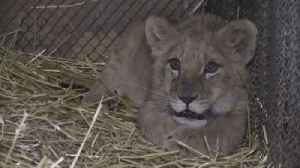 Ukrainian Zoo Welcomes First Lion Cub Born Amid Country's Conflict [Video]