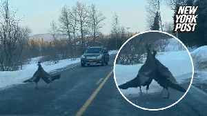 Wild turkeys tangled in an epic bird battle [Video]
