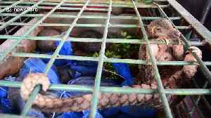 Pangolins, world's most trafficked animal, may be link that facilitated spread of coronavirus [Video]